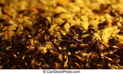 Group Of Black Beetles - close up Group Of Black Beetles