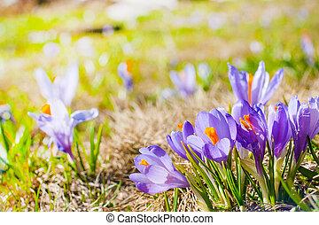 Close up group of blooming crocuses spring flowers