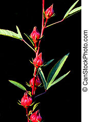 Close up group of red roselle on the branch tree black background