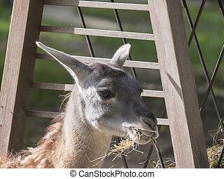 Close up Guanaco Lama guanicoe head shot profile portrait in...
