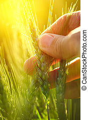 Close up hand holding ear of green wheat in cultivated field