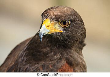 close up Harris Hawk (Parabuteo unicinctus)