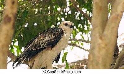 Close up hawk bird of prey snake eagle on green tree branch....