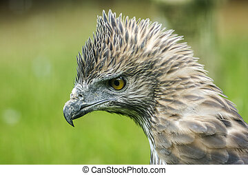 Close up head of a Changeable Hawk-Eagle. (Scientific name...