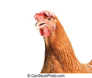 close up head of brown chicken hen isolated white background