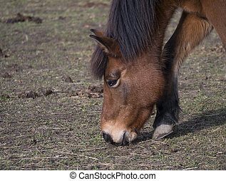 close up head of ginger brown horse grazing eating grass on dirt meadow in late autumn in Prague park, focus on eye.