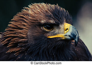 Close up head portrait of a golden eagle