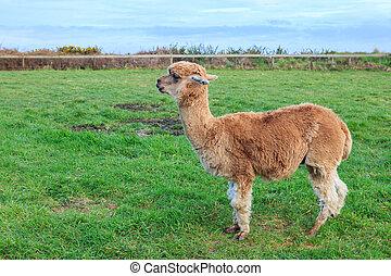 close up head shot of brown alpaca in green field