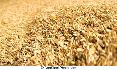 Close up heap of wheat motion. Pile of yellow wheat.