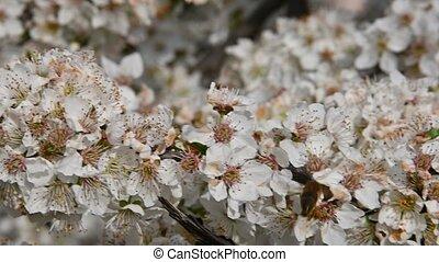 Close up honey bee on white cherry plum blossom - Close up...