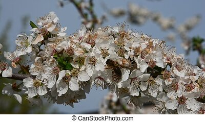Close up honey bee on white cherry plum tree blossom with green leaves, low angle view, 4K