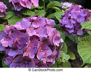 Close up huge inflorescences of pink hydrangea