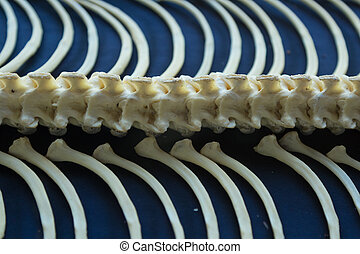 Close up Huge skeleton of the spine and ribs of the yellow snake python on a blue background