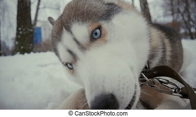 Close up husky dog on snow eating a bone in slow motion at winter