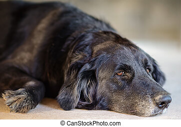 black dog laying down on the floor.