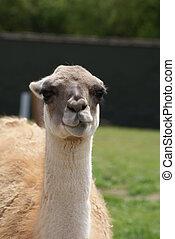 Guanaco - Lama guanicoe