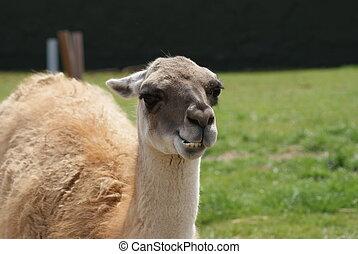 Guanaco - Lama guanicoe - Close-up image of a Guanaco - Lama...