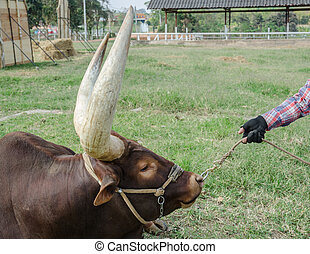 Close up image of a longhorn bull