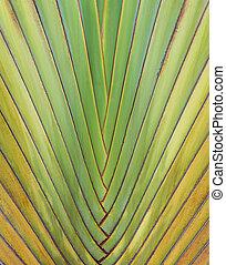 Close-up image of a Ravenala madagascariensis palm leaf natural background image