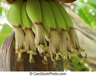 Close up image of Banana flower on the tree.