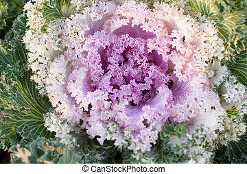 Close-up image of decorative fall kale cabbage