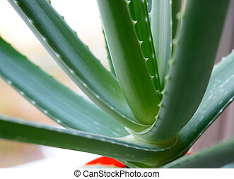 Close up Image of Green Aloe Vera Leafs on Bright Background
