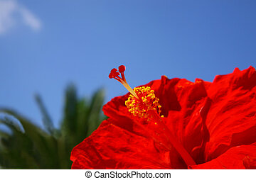 close-up image of red hibiscus