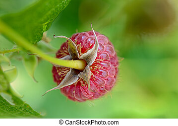 Close-up Image of Red Ripe Raspberry Growing in Garden