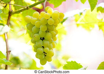 Close-up Image of Ripe Bunche of White Grapes on Vine