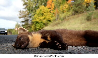 Close up image of the newly found dead European pine marten Martes animal
