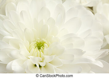 Close up image of white chrysanthemum