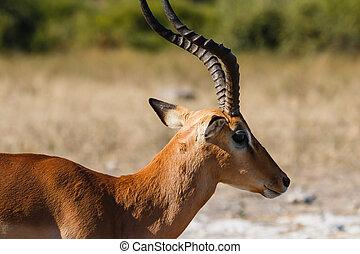 Close up impala Botswana - Close up head adorable shiny...