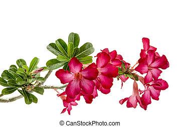 Close-up Impala Lily or desert rose isolate on white ...