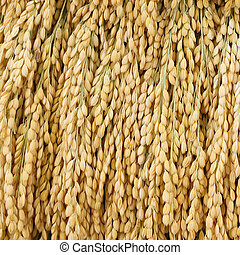 Japanese rice paddy - Close up Japanese rice paddy texture...