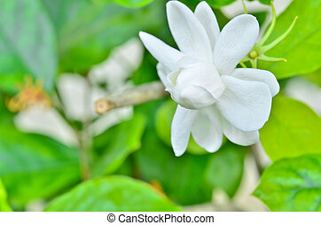 close up Jasmine