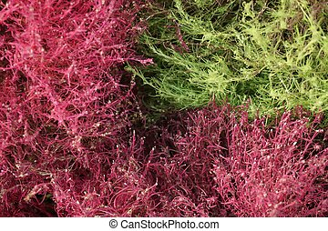 Kochia Trichophylla or Burning Bush plant