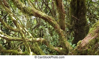 Close up. Laurel tree trunk covered by moss. Tropical rain...