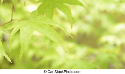Close up leaf in left - Close up bright green maple leaf in...