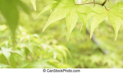 Close up leaf in upper half - Close up bright green maple...