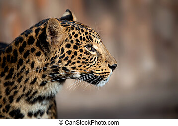 Close up leopard portrait