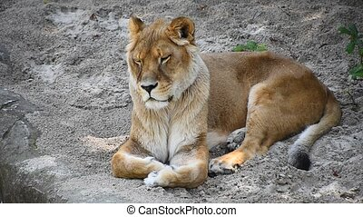Close up lioness resting on the ground