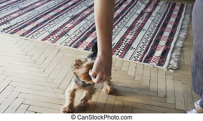 close-up Little dog yorkshire terrier with owner spend a day at the home playing and having fun