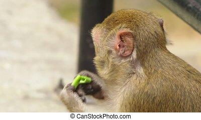 close-up. little monkey eating corn cob. - close-up. little...