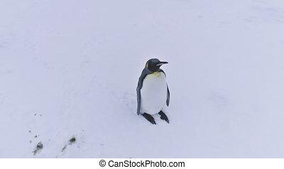 Close-up lone King penguin. Antarctic aerial shot. -...
