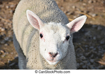 Close Up Look Into the Face of a Cheviot Lamb