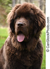 Close Up Look Into the Face of a Newfie Dog