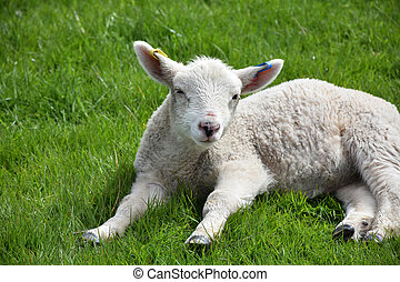 Close Up Look Into the Face of a Resting Lamb