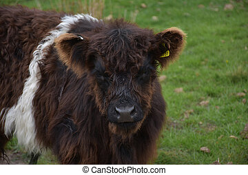 Close Up Look into the Face of a Shaggy Belted Galloway Calf