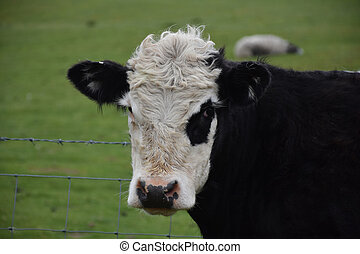 Close Up Look Into the Face of a Shaggy Cow