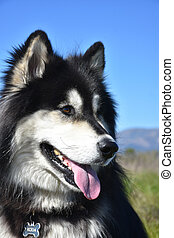 Close Up Look Into the Face of a Siberian Husky dog